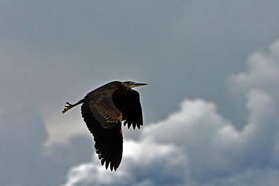Photograph - Blue Heron Flight by Chris LeBoutillier