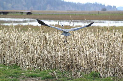 Photograph - Blue Heron Flight by Louise Magno