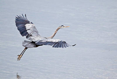 Photograph - Blue Heron Flying Gracefully by Athena Mckinzie