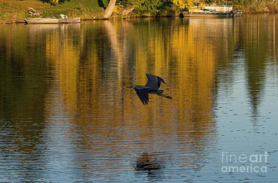 Photograph - Blue Heron Flying by Les Palenik
