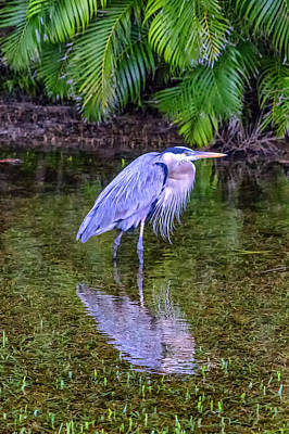 Photograph - Blue Heron Ft Myers Florida Dsc00999_16 by Greg Kluempers