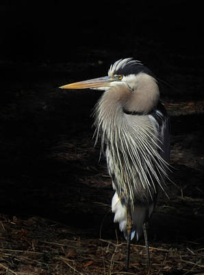 Photograph - Blue Heron Gaze by Deborah Smith