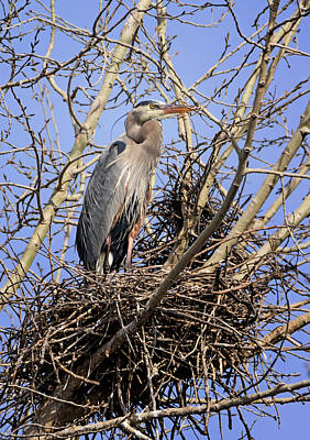 Great Blue Heron Photograph - Blue Heron Guarding The Nest by Loree Johnson