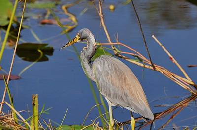 Photograph - Blue Heron by Helen Haw