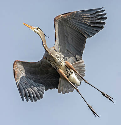 Photograph - Blue Heron High Above by Loree Johnson