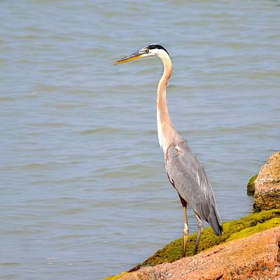 Photograph - Blue Heron II by Kristina Deane