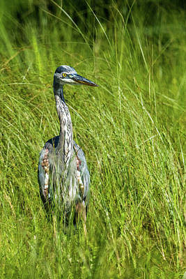 Art Print featuring the photograph Blue Heron In A Marsh by Paul Freidlund