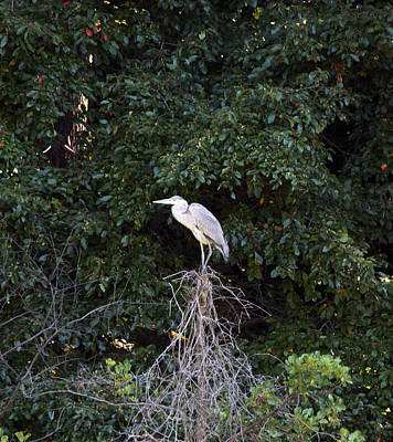 Photograph - Blue Heron In A Tree by Paul Ross