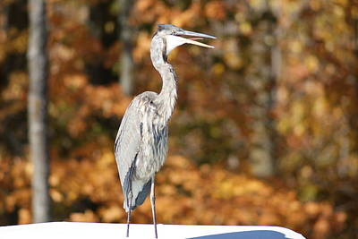 Photograph - Blue Heron In Fall by Ron Read