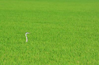 Blue Heron In Field Art Print