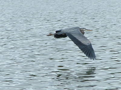Blue Heron In Flight Art Print by Nick Gustafson