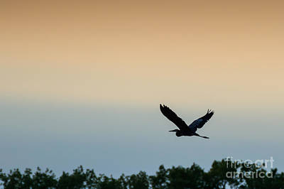 Photograph - Blue Heron In Flight by Richard Smith
