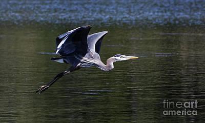 Painting - Blue Heron In Flight by Sue Harper