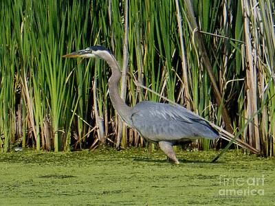 Photograph - Blue Heron In Pond by Kathie Chicoine