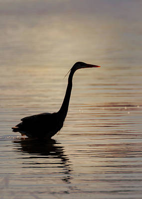 Photograph - Blue Heron In Silhouette by Susan Rissi Tregoning