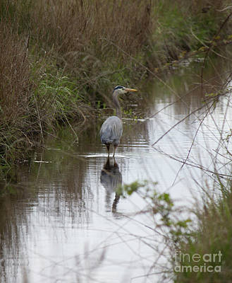 Photograph - Blue Heron In Stream by Donna L Munro