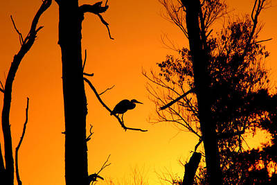 Photograph - Blue Heron in the early morning sun by Jim Phares