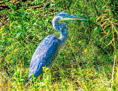 Photograph - Blue Heron In The Reeds by Nick Zelinsky