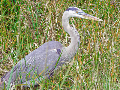 Photograph - Blue Heron In The Swamp by Judy Kay