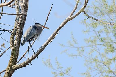 Photograph - Blue Heron In Tree by Joni Eskridge
