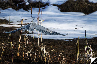 Art Print featuring the photograph Blue Heron by Jim  Hatch