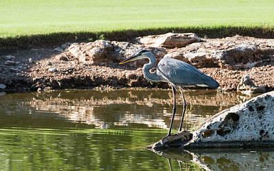 Photograph - Blue Heron  by John Johnson