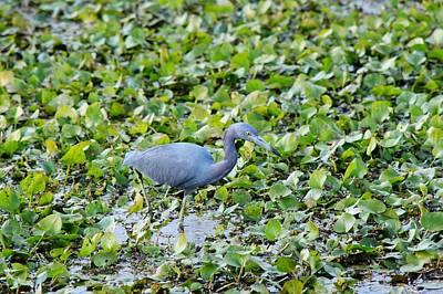 Photograph - Blue Heron by Joseph Caban