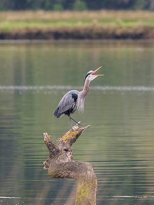Photograph - Blue Heron Laughing by Loree Johnson