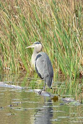 Photograph - Blue Heron Of Mill Lake Returns by Nicki Bennett