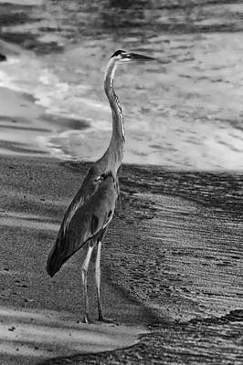 Photograph - Blue Heron On Beach Bw by Michael Thomas