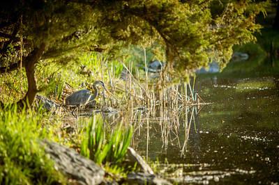 Photograph - blue heron on Pond Edge by Chris Bordeleau