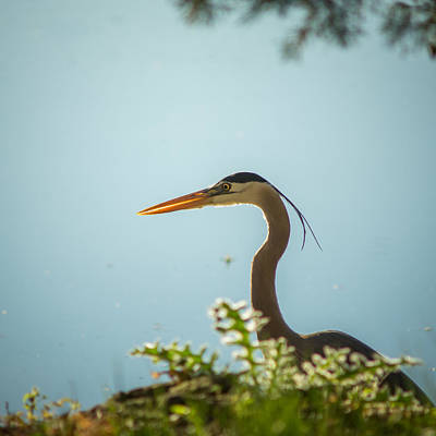 Photograph - Blue Heron On The Hunt by Chris Bordeleau