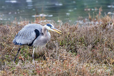 Art Print featuring the photograph Blue Heron On The Hunt by Eddie Yerkish
