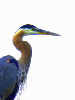 Photograph - Blue Heron On White by Beth Akerman