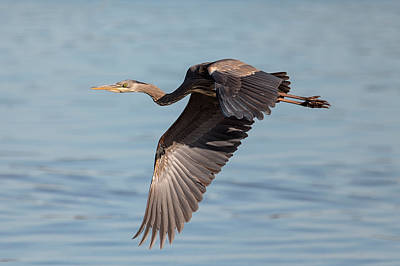 Photograph - Blue Heron Over The Bay by Loree Johnson