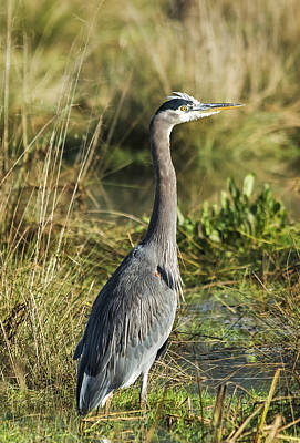 Photograph - Blue Heron Portrait by Loree Johnson