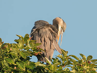 Photograph - Blue Heron Preening by Loree Johnson