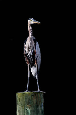 Photograph - Blue Heron Prestige by Jennifer Casey