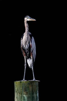 Photograph - Blue Heron Prestige by Jennifer Casey