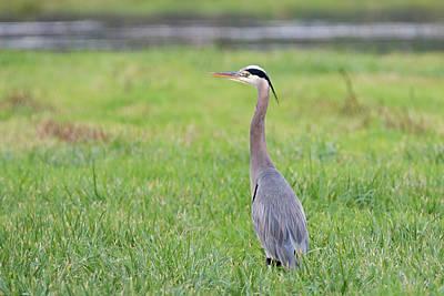 Photograph - Blue Heron Profile by Loree Johnson