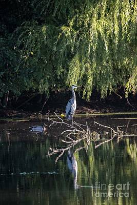 Photograph - Blue Heron Profiling by David Bearden