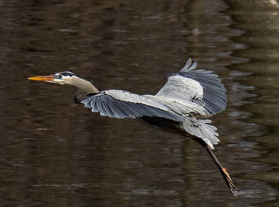 Photograph - Blue Heron Ready for Touchdown by Brian Brandt