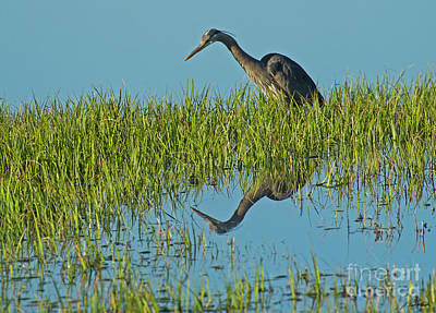 Photograph - Blue Heron Reflectiion-signed-#0107 by J L Woody Wooden