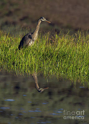 Photograph - Blue Heron Reflectiion-signed-#0140 by J L Woody Wooden