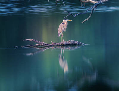 Photograph - Blue Heron Reflection by Dan Sproul