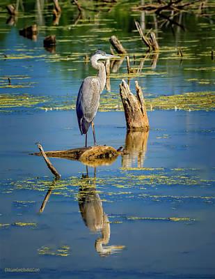 Photograph -  Blue Heron Reflections by LeeAnn McLaneGoetz McLaneGoetzStudioLLCcom