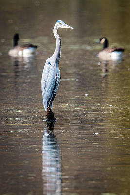 Photograph - Blue Heron Reflections by Paul Freidlund
