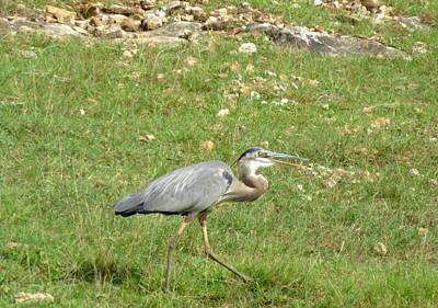 Photograph - Blue Heron by Robin Regan