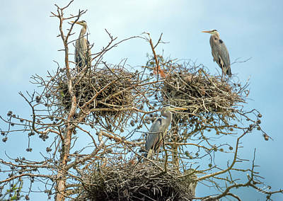 Photograph - Blue Heron Rookery 2 by Leland D Howard