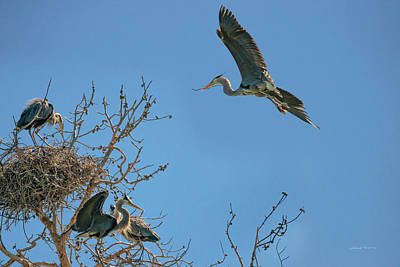 Photograph - Blue Heron Rookery 6 by Leland D Howard